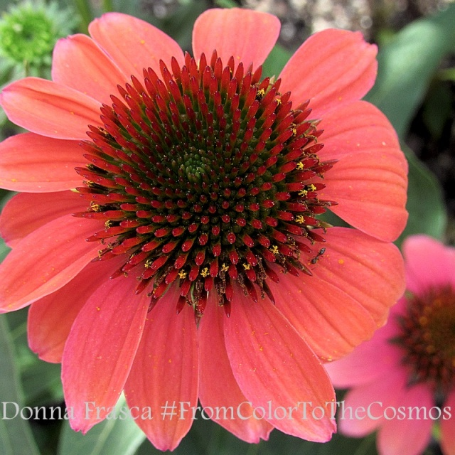 Coral Cone Flower